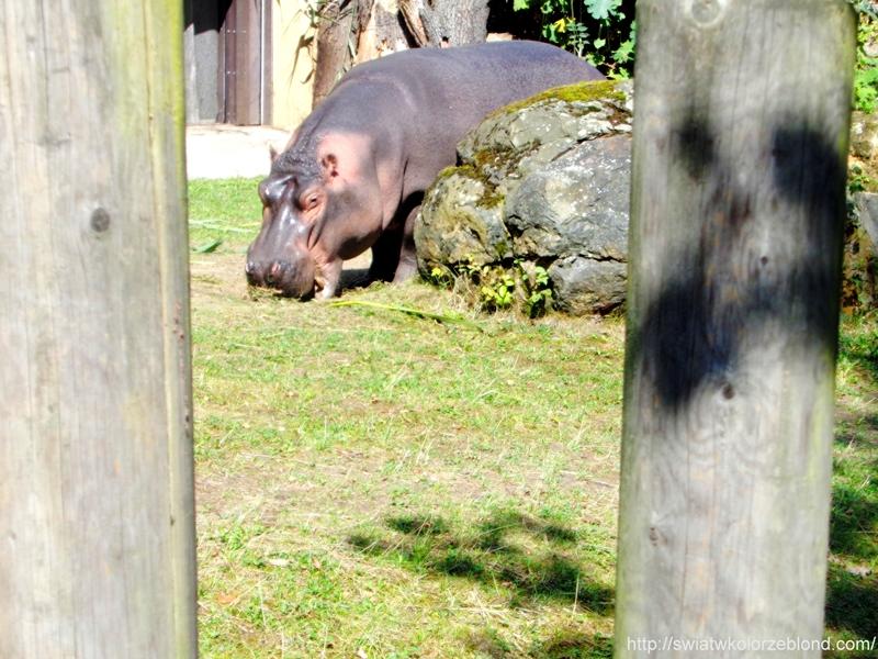 ZOO w Ostravie hipopotam