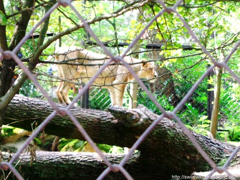 ZOO w Ostravie lew